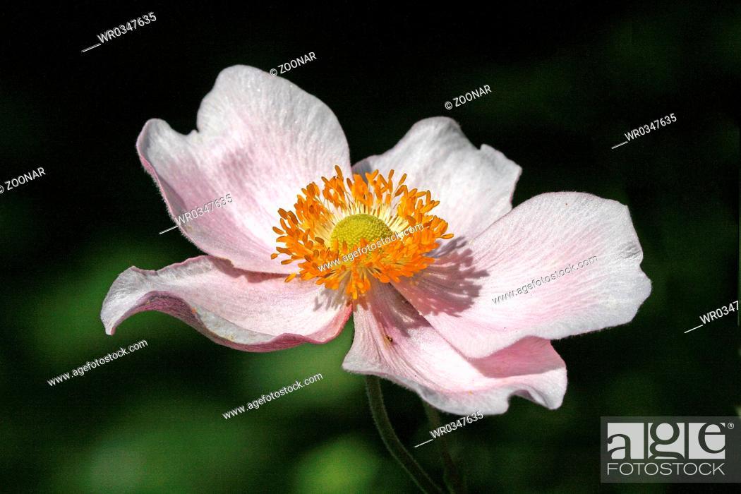 Stock Photo: Anemone hupehensis.