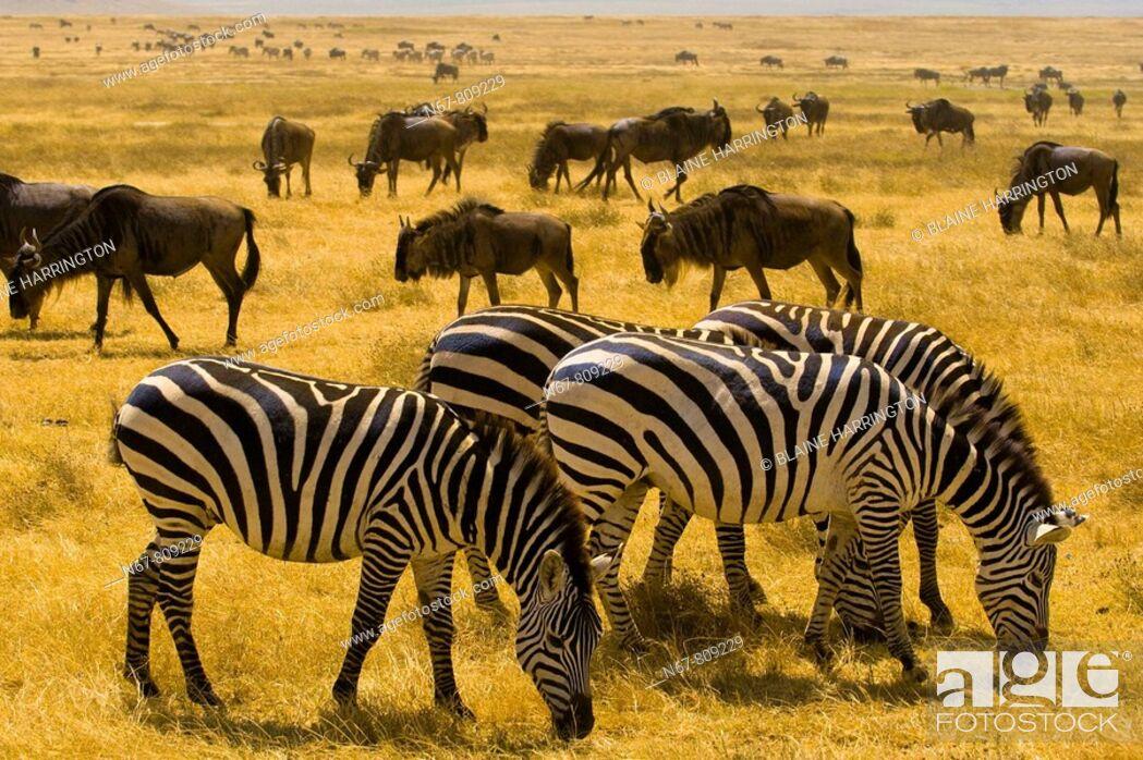 Stock Photo: Large numbers of zebra and blue wildebeest gnu, Ngorongoro Crater, Ngorongoro Conservation Area, Tanzania.