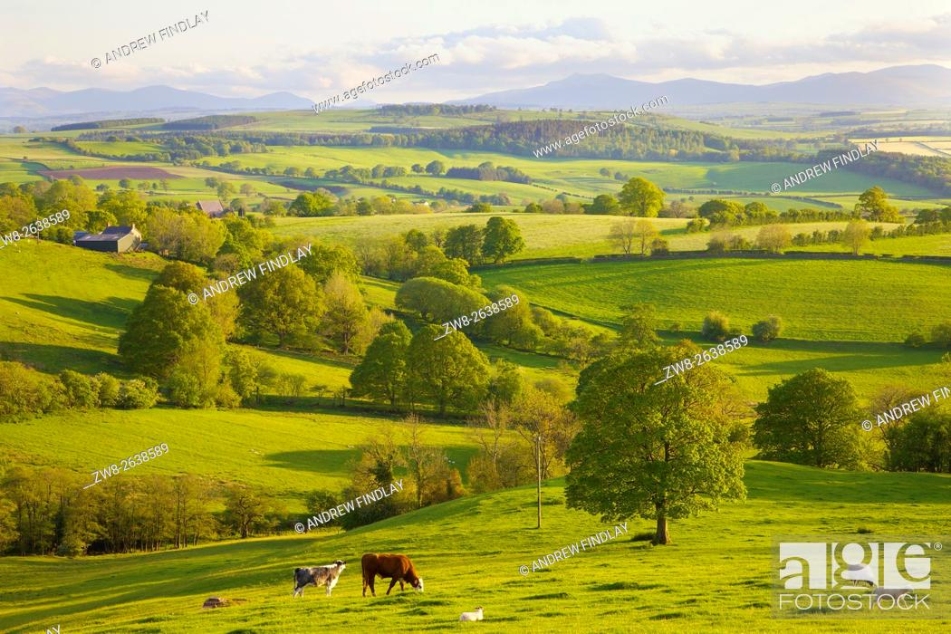 Stock Photo: Eden Valley. Cattle & sheep grazing. Rural evening scene. Ainstable, Cumbria, England, United Kingdom.