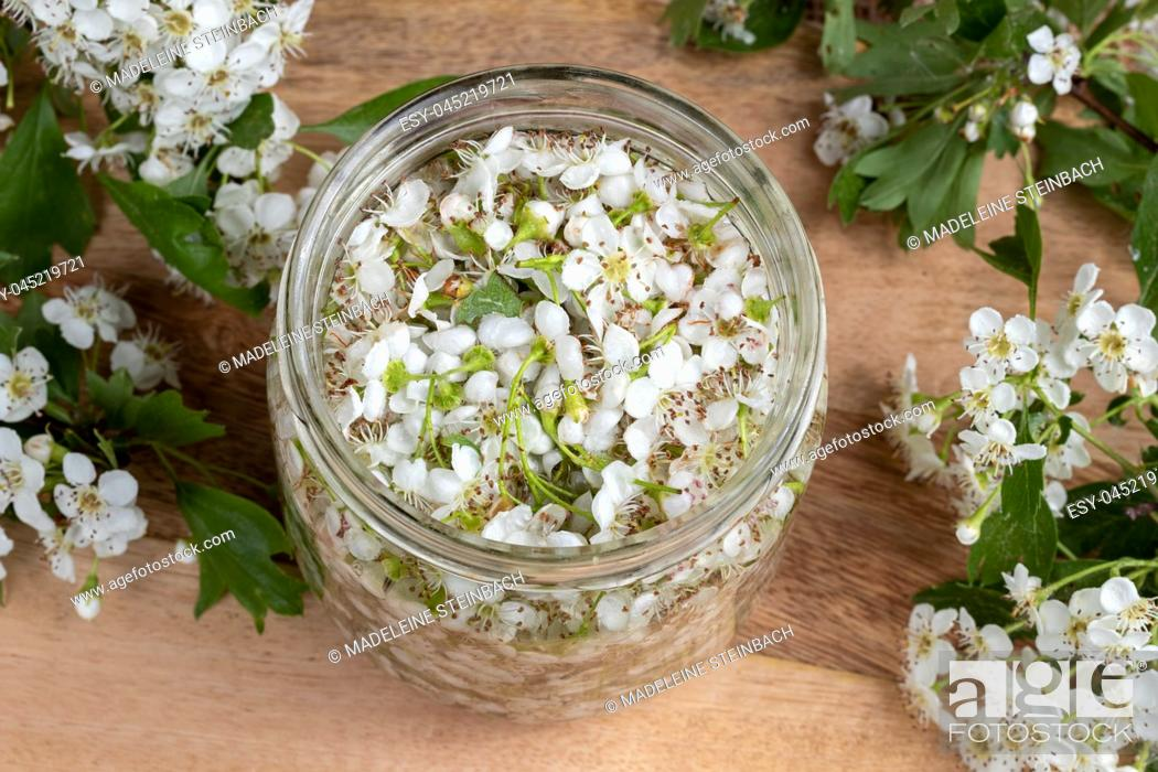 Stock Photo: A jar filled with fresh hawthorn blossoms and alcohol, to prepare herbal tincture.