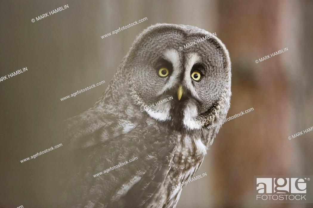 Stock Photo: Great Grey Owl Strix uralensis close-up of adult in pine forest  captive-bred bird.