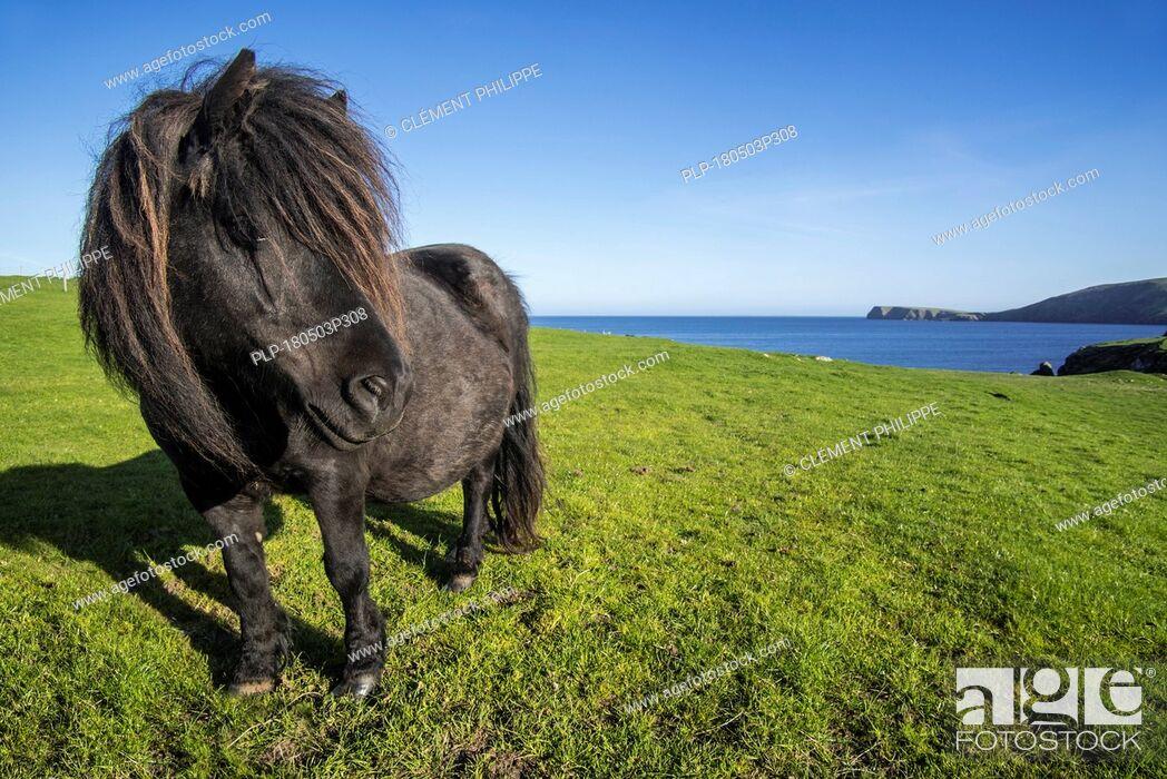 Imagen: Black Shetland pony in field along the coast on the Shetland Islands, Scotland, UK.