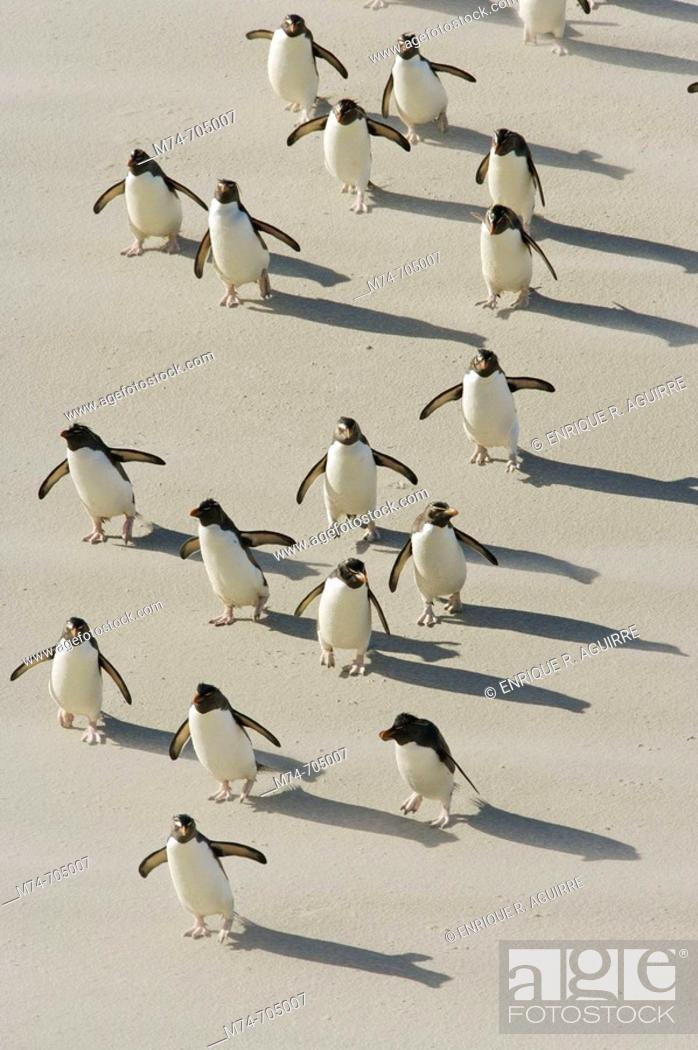 Stock Photo: Rockhopper penguin Eudyptes chrysocome arriving to the beach, Falkland Islands, South Atlantic Ocean.