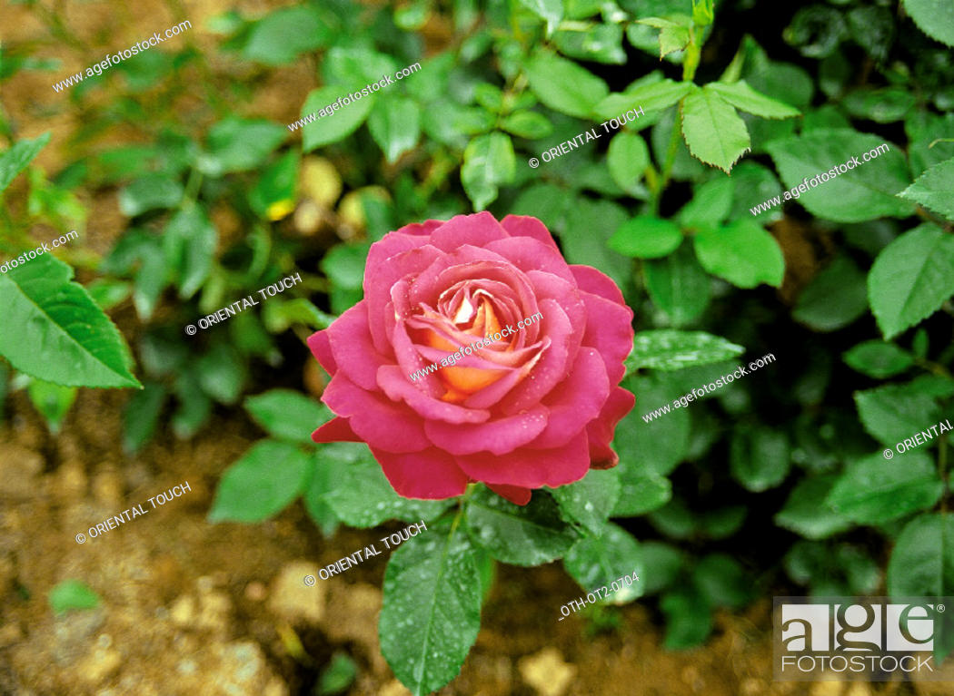 Photo de stock: Rose, a prickly bush or shrub that typically bears red, pink, yellow, or white fragrant flowers, native to north temperate regions and widely grown as an.