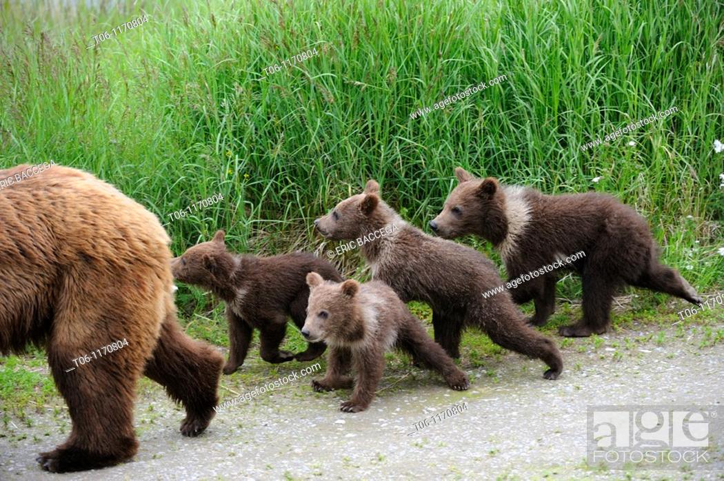 Stock Photo: Grizzli bear mother and four spring cubs Ursus arctos horribilis Brooks river, Katmai National Park, Alaska, USA.