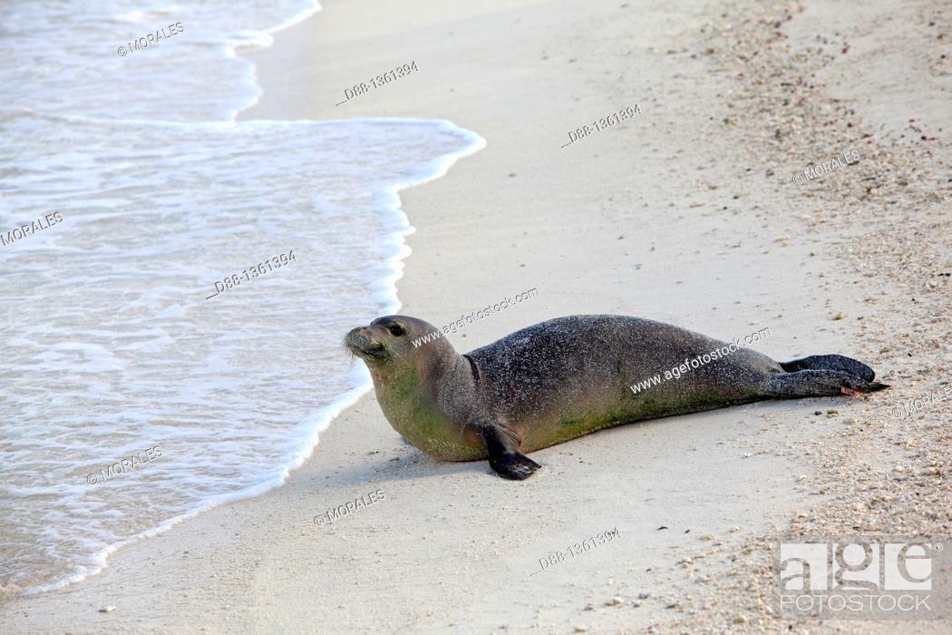 Stock Photo: Hawaï , Midway , Eastern Island , Hawaiian monk seal  Monachus schauinslandi.