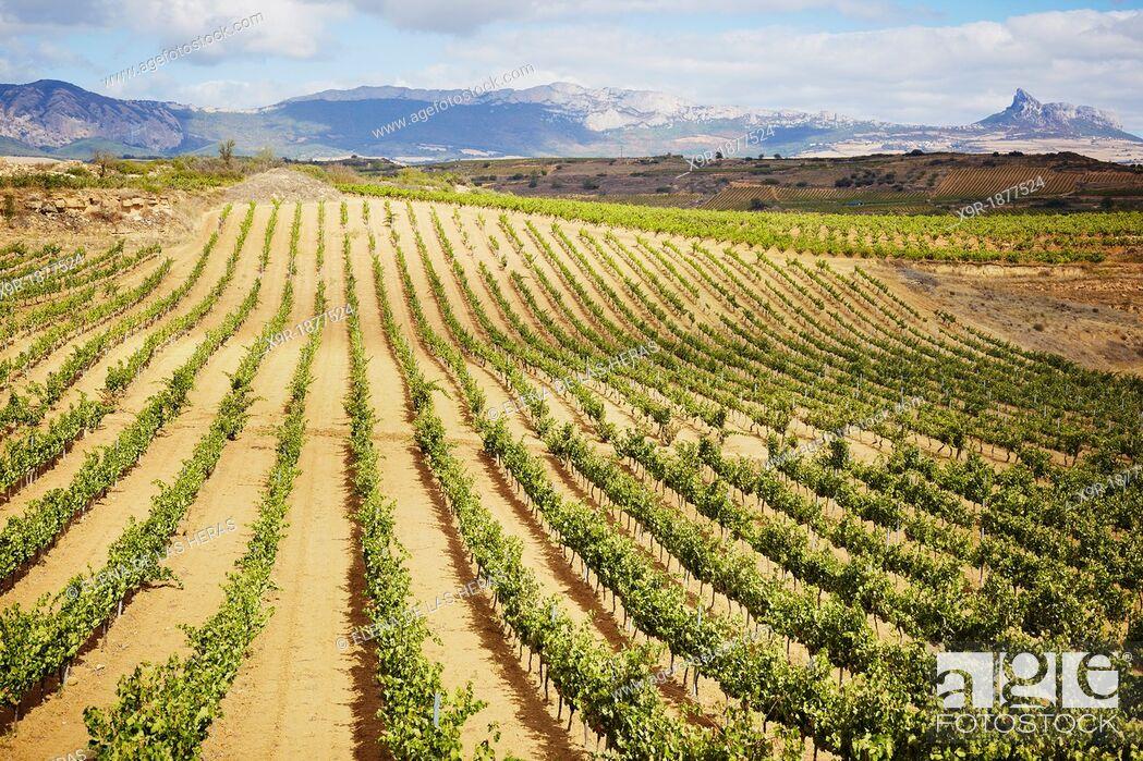 Stock Photo: Vineyards  Rioja alavesa wine route  Alava  Basque country  Spain.