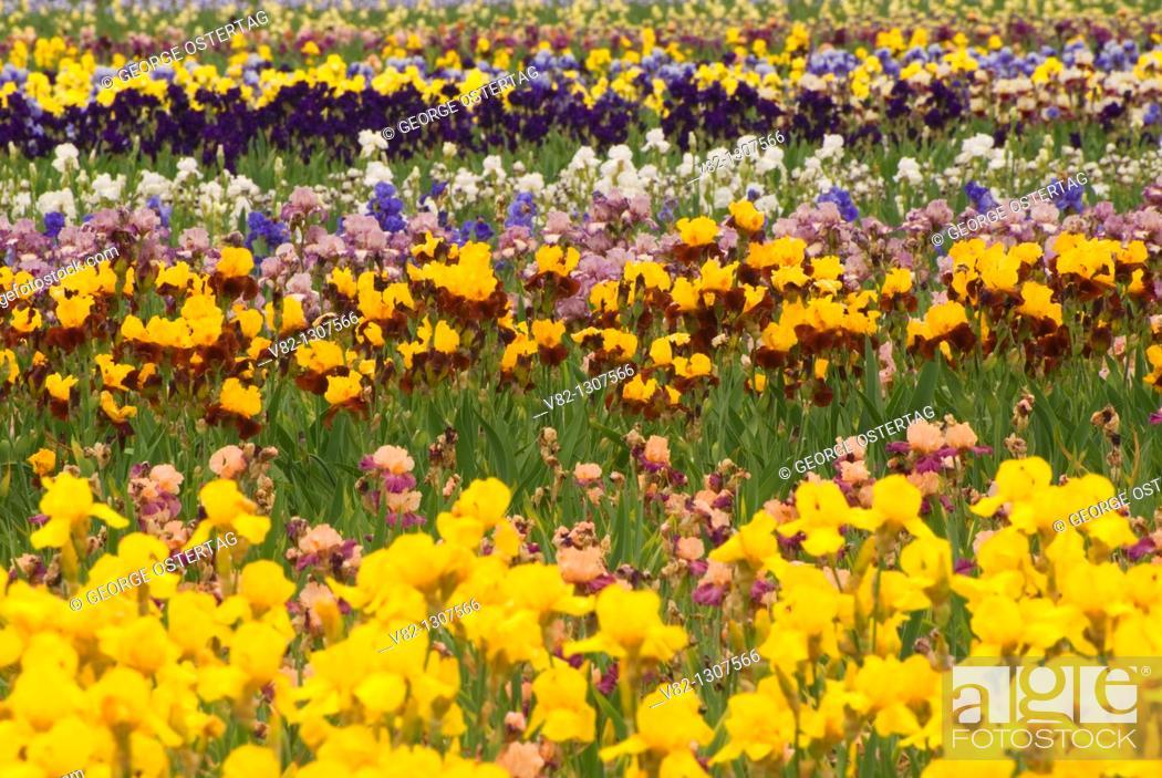 Stock Photo: Iris field, Schreiner's Iris Gardens, Keizer, Oregon.