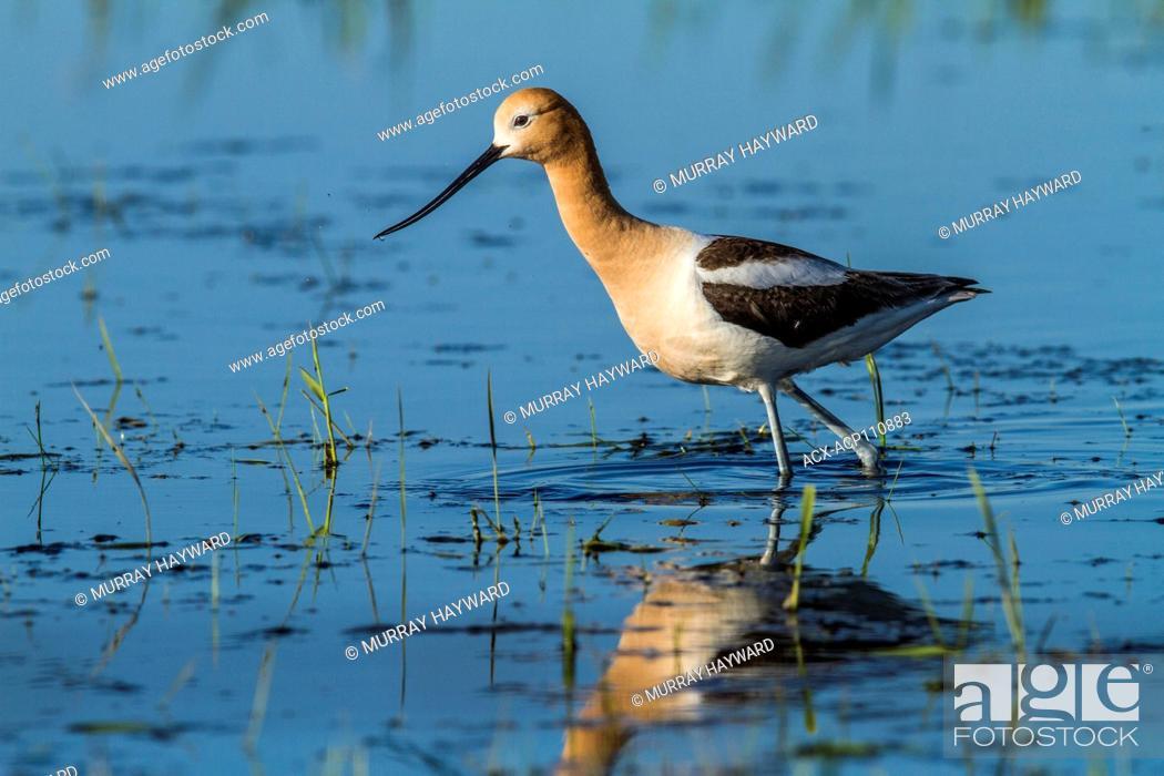 Stock Photo: American Avocet (Recurvirostra americana) Standing, with reflection in prairie slough, colorful shorebird. Rural Alberta, Canada.