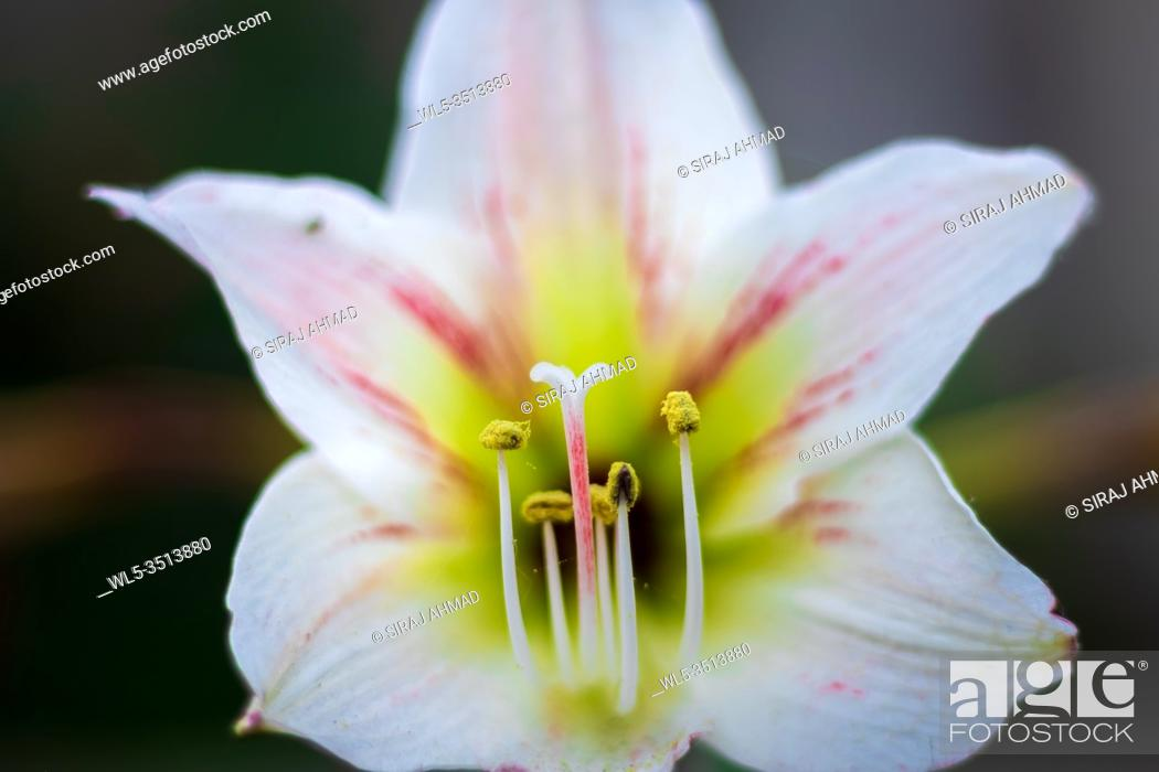 Stock Photo: Close up of garden lily flower.