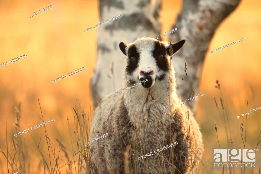 Stock Photo: Portrait of a sheep standing on a meadow that is glowing in the golden light of the setting sun.
