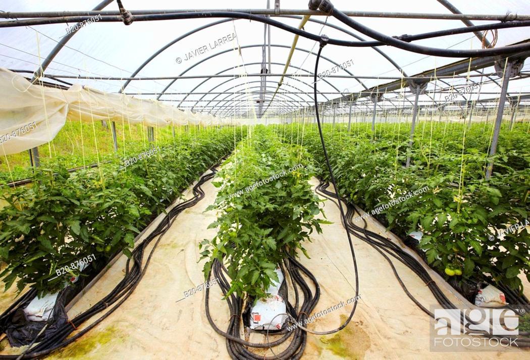 Stock Photo: Tomato plants in greenhouse, Nuarbe, Azpeitia, Gipuzkoa, Basque Country, Spain.