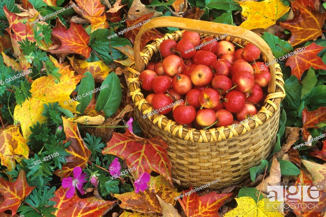 Stock Photo: Basket of harvested Columbia Crabapples among fall leaves Malus sp.