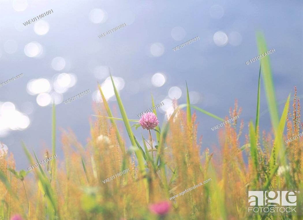 Stock Photo: The Red Clover On The Waterside.