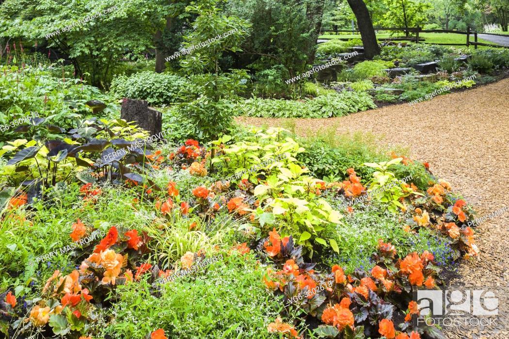 Stock Photo: Summer border with orange Begonia, Colocasia esculenta - Taro, Hosta - Plaintain Lily plants and mulch path in summer, Centre de la Nature public garden, Laval.