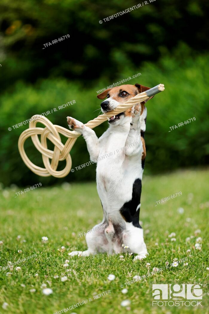 Imagen: Jack Russell Terrier with carpet beater.