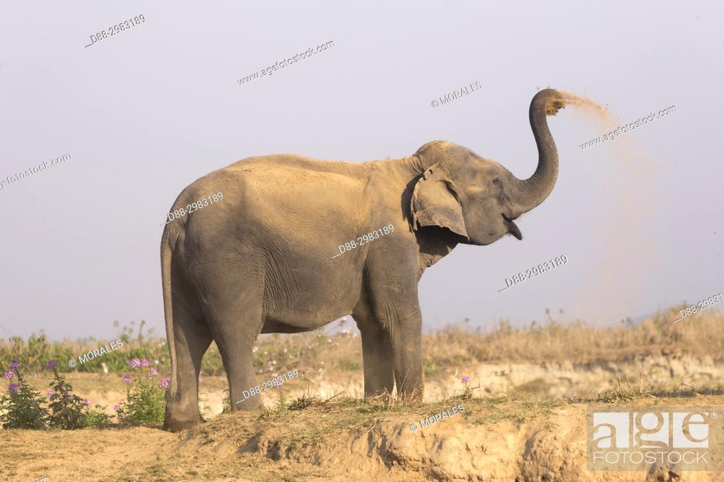 Stock Photo: India, State of Assam, Kaziranga National Park, domestic Asian Elephant (Elephas maximus) use in safaris in search of the Asian One-horned rhino or Indian.