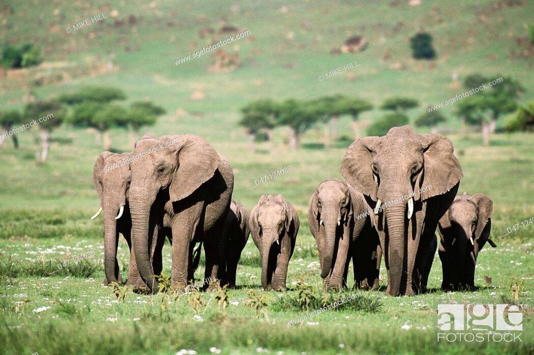 Stock Photo: African Elephants (Loxodonta africana). Masai Mara Nature Reserve, Kenya.