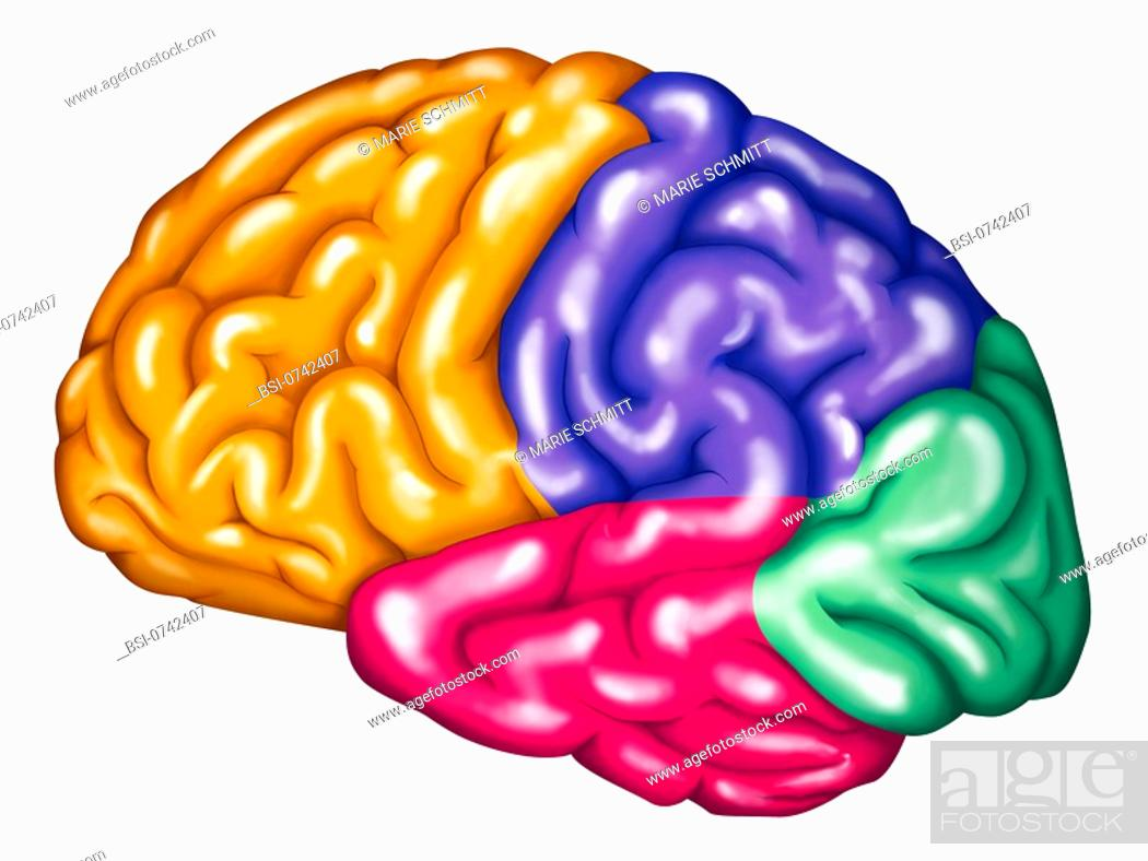 The Four Lobes Of The Brain Frontal Lobe Orange Parietal Lobe