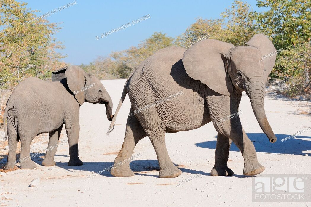 Stock Photo: Two young African bush elephants (Loxodonta africana) crossing a dirt road, Etosha National Park, Namibia, Africa.