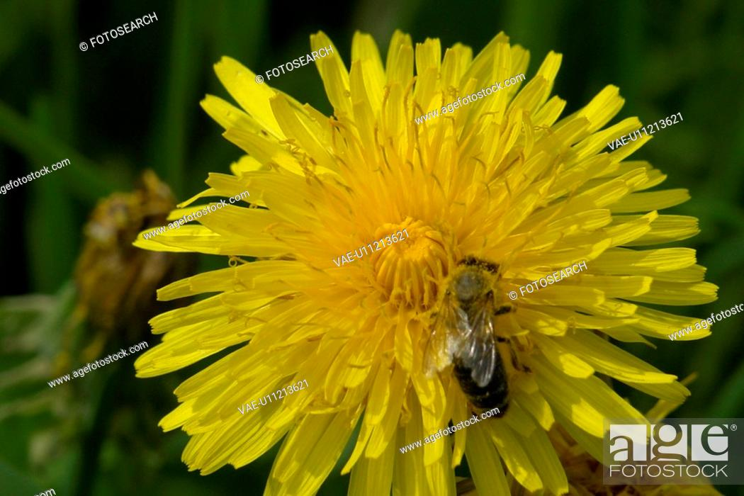 Stock Photo: burgdorf, bees, botany, blooms, berne, animals.