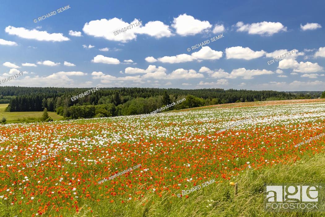 Imagen: Poppy field, Vysoocina near Zdar nad Sazavou, Czech Republic.