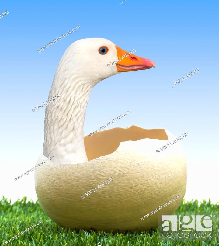 Stock Photo: Being born again concept with goose in egg on grass.