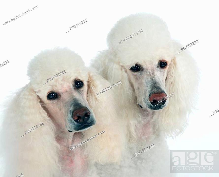 Stock Photo: Two White Standard Poodles.