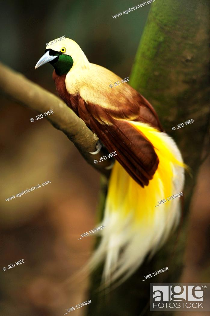 Stock Photo: Lesser Bird-of-paradise (Paradisaea minor), Jurong Bird Park, Singapore.