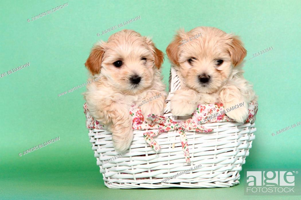 Maltipoo Maltese X Toy Poodle Two