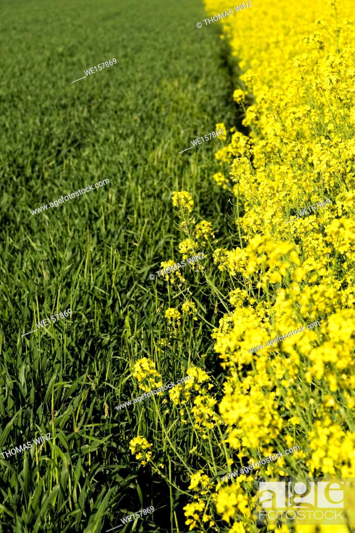 Stock Photo: yellow rape flowers blooming. Horb am Neckar, Baden Württemberg, Germany.