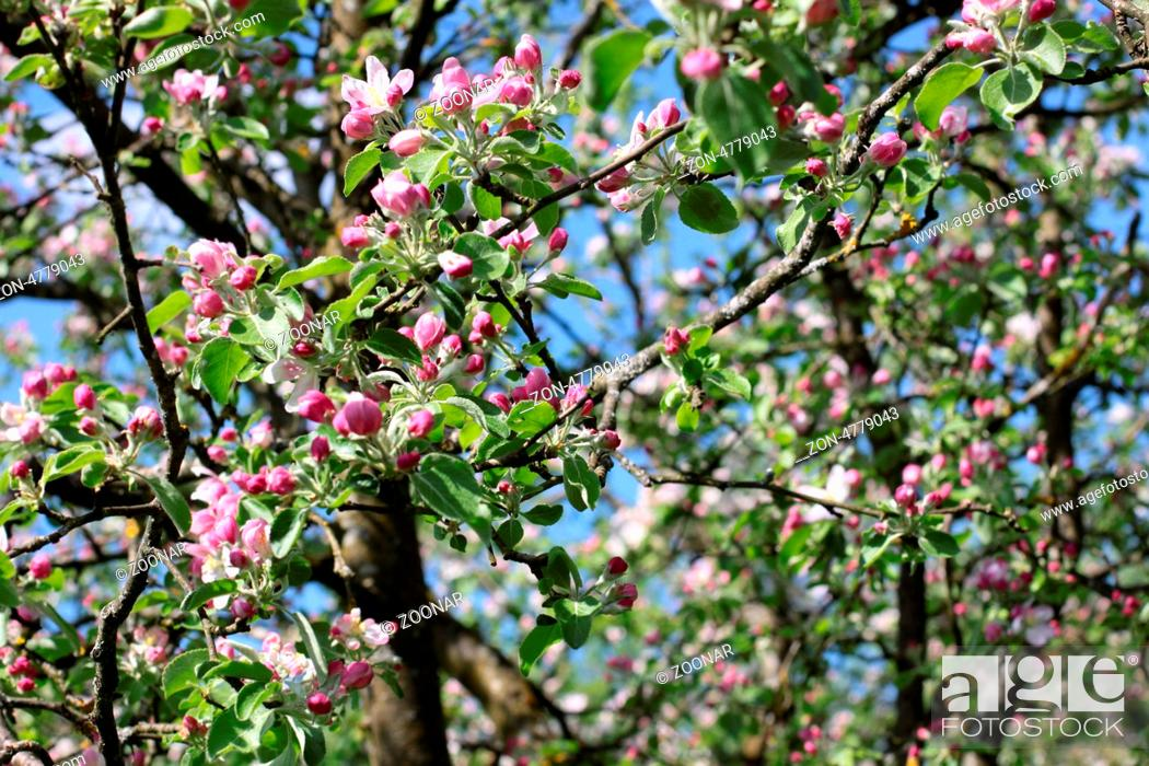 Stock Photo: Apple blossoms.