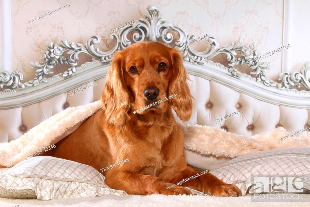 Stock Photo: English Cocker Spaniel in bed.