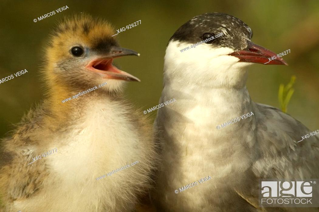 Stock Photo: Fumarel cariblanco adulto con cría Chlidonias hybrida Whiskered tern adult with chick Chlidonias hybrida.