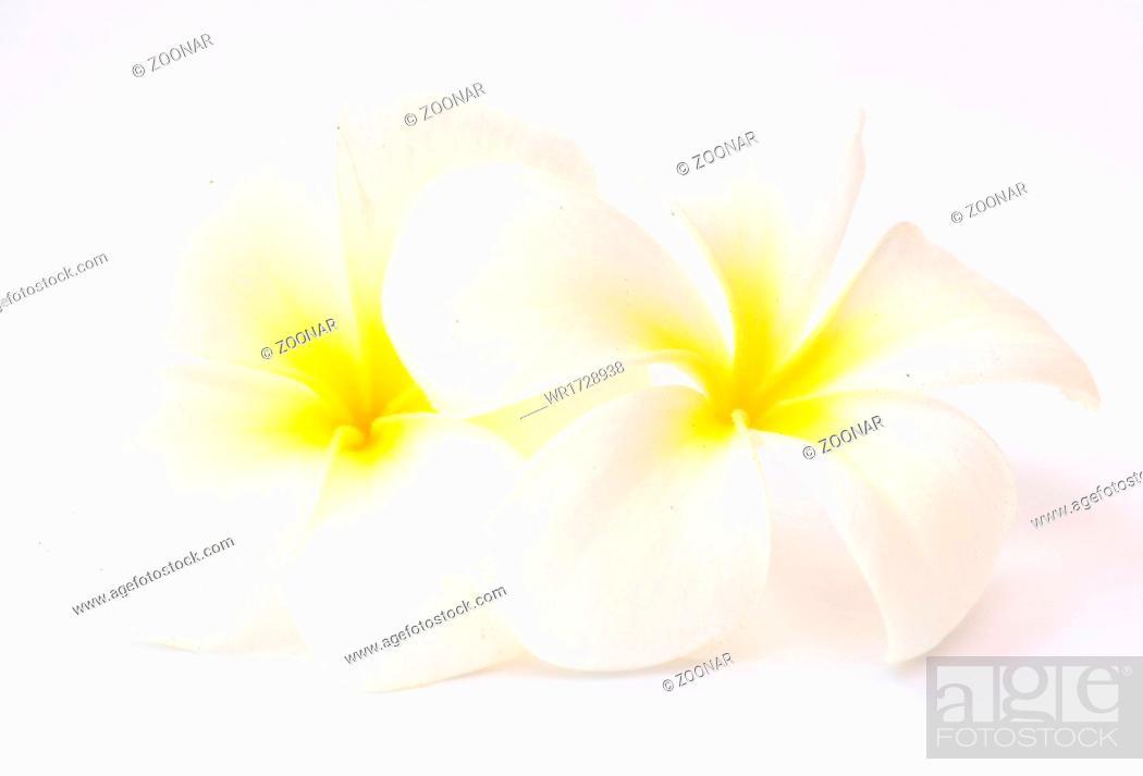 Stock Photo: frangipani flower.