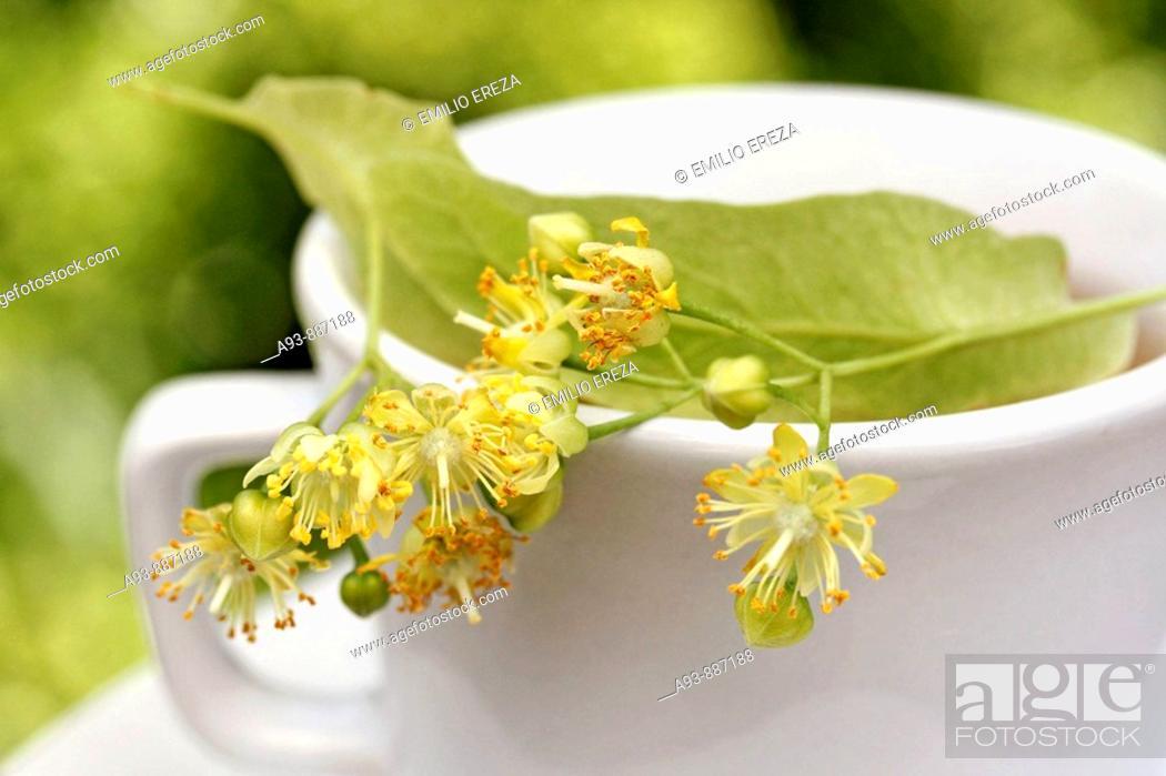 Stock Photo: Linden tree infusion (Tilia platiphyllos or cordata).