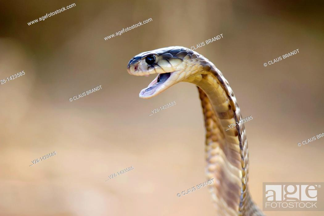 Stock Photo: Egyptian cobra (Naja haje), private reptile park, South Africa.