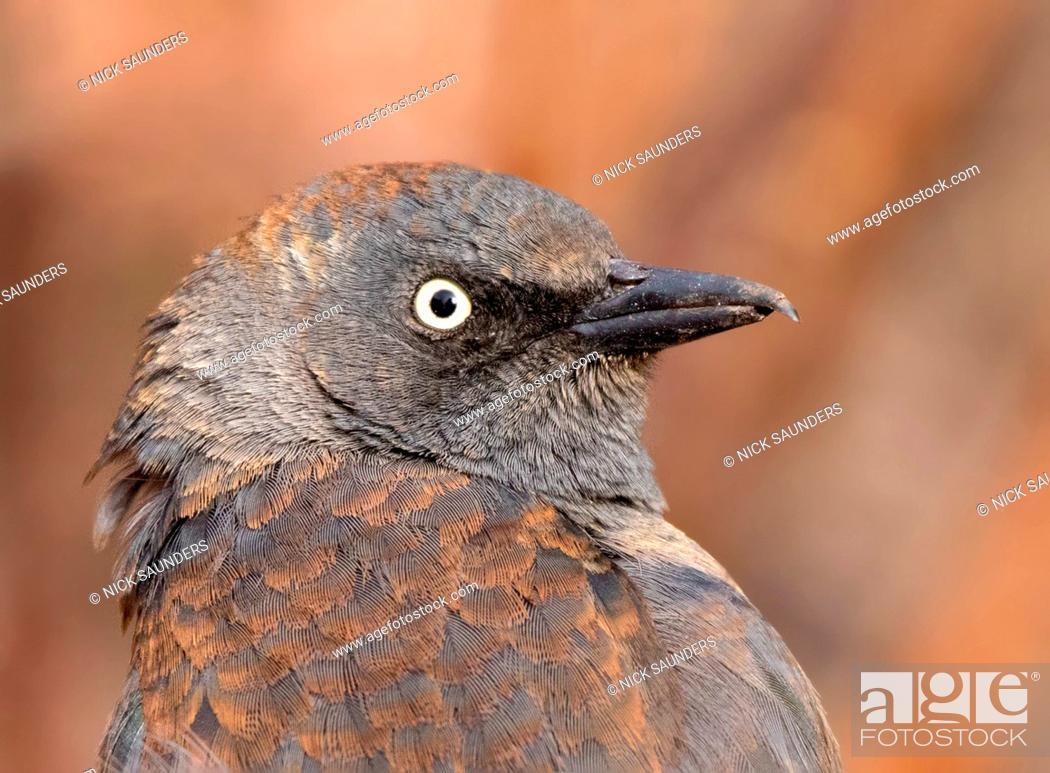 Imagen: Rusty Blackbird, Euphagus carolinus , in winter plumage, close-up in Saskatoon, Saskatchewan.