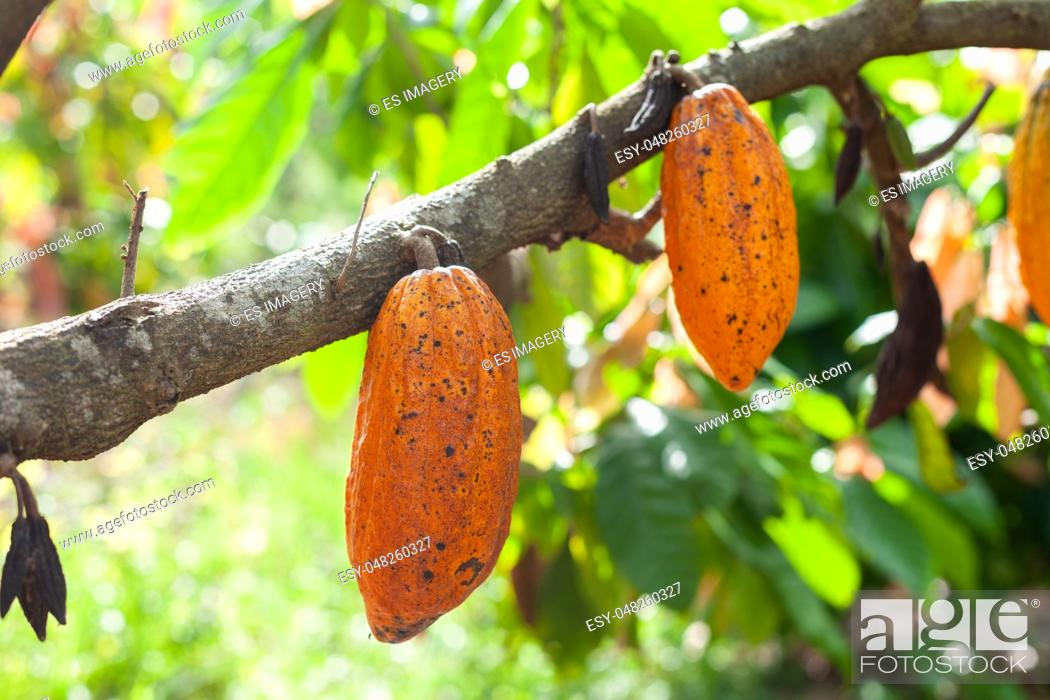 Stock Photo: Trinitario cocoa (Theobroma cacao) pods on Sumatra, Indonesia.