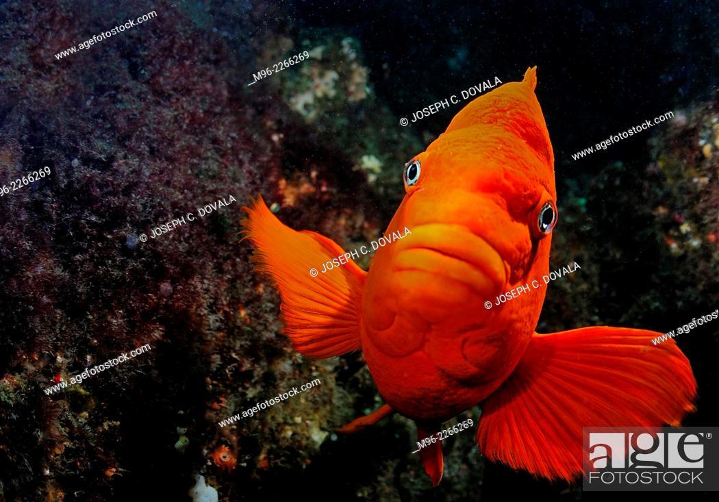 Stock Photo: Male Garibaldi fish guarding nest, Anacapa Island, California, USA.