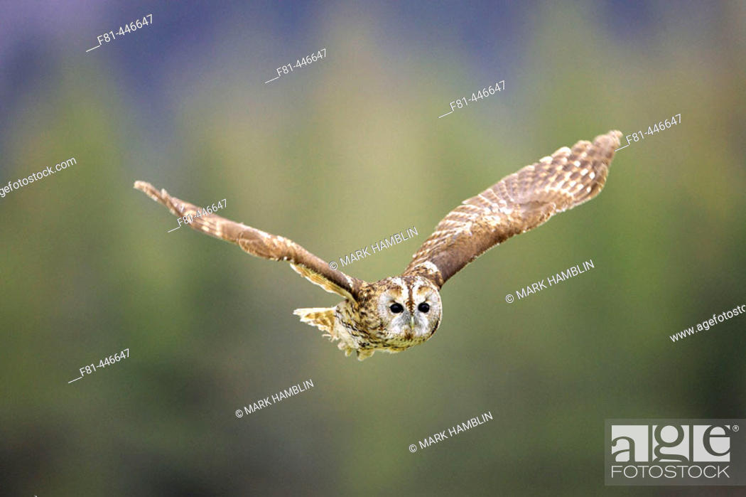 Stock Photo: Tawny Owl (Strix aluco) adult in flight. Scotland. April.