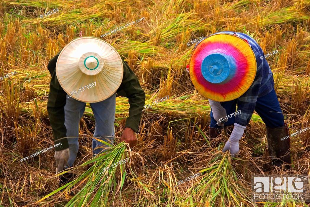 Stock Photo: Rice field in Lampang  Chiang Mai  Thailand.