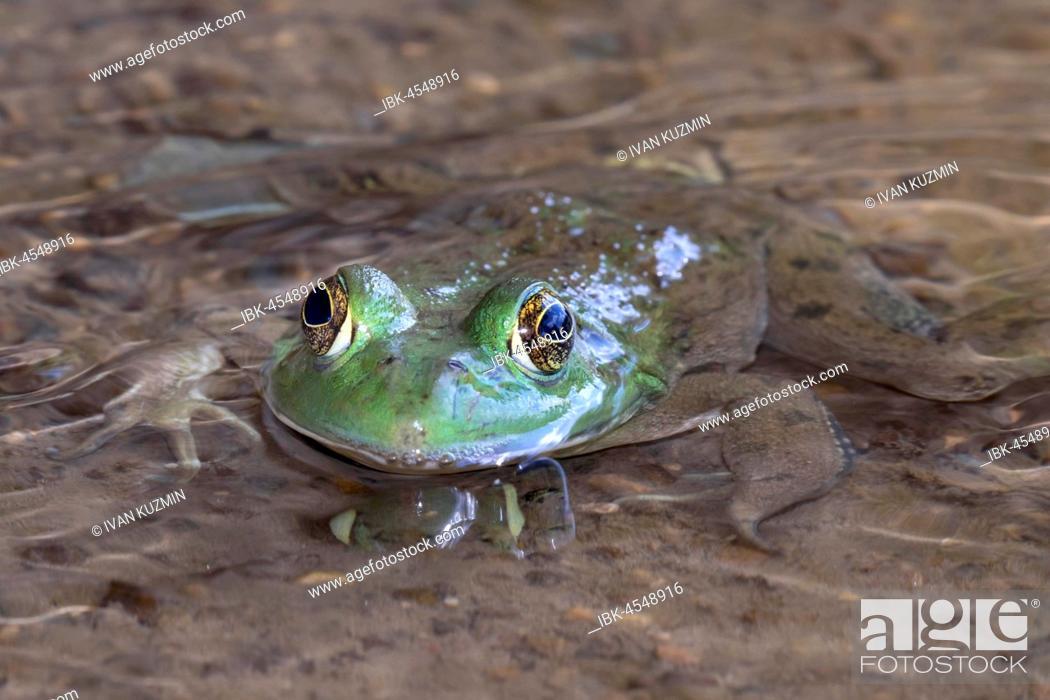 Stock Photo: American bullfrog (Lithobates catesbeianus) in water stream, Ledges State Park, Iowa, USA.