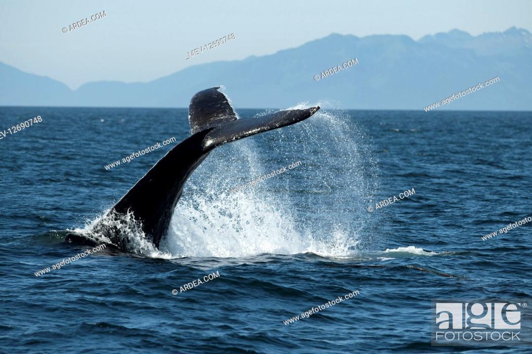 Stock Photo: Humpback whale, Megaptera novaeangliae, fluke slapping, Southeast Alaska, USA.