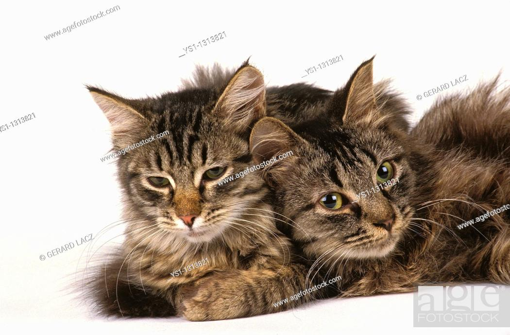 Stock Photo: Two adult Siberian cats against white background.