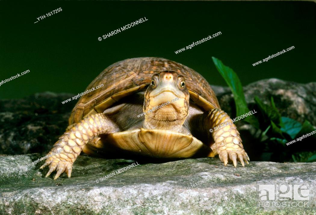 Stock Photo: Female Common Box Turtle (Terrapene carolina) making eye contact as she walks in garden on stone pathway.