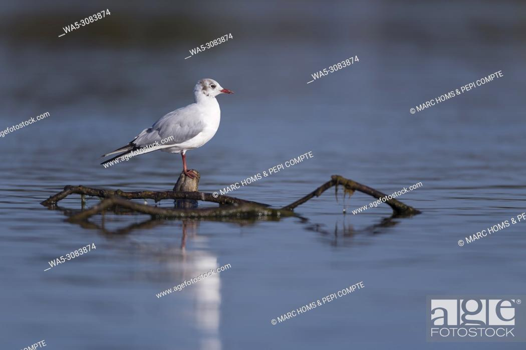 Imagen: Black headed gull posed on a trunk in Deltebre, Catalonia, Spain.
