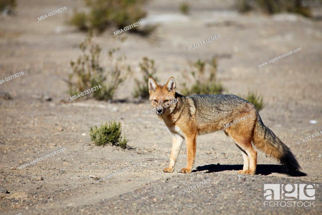 Stock Photo: Bolivia, Los Lipez, Laguna Canapa, Andes fox,.