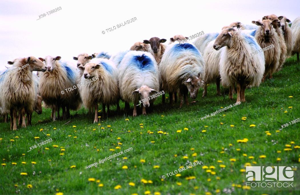 Stock Photo: Flock of sheep lachen Idoia Collado long distance footpath GR 11 Navarra Spain.