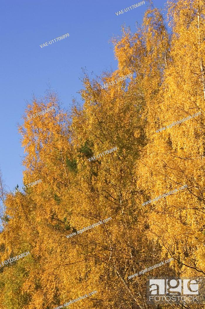 Stock Photo: Blue, Golden, Day, Clear Sky, Autumn.